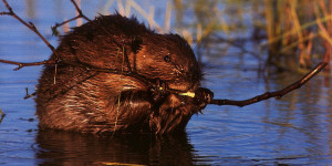 beaver_eating_twig
