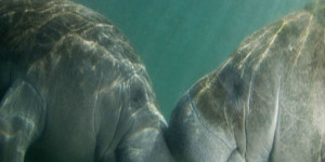 Endangered Florida Manatees in Jeopardy of Being Extinct.